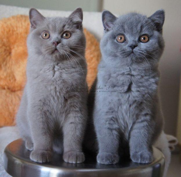 Chwalebne Koty Brytyjskie, Hodowla Kotów Brytyjskich Amazing Aisha*PL CP34