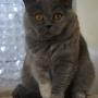 koty-brytyjskie- IC Carrera of Amazing Aisha*PL - Grudzień 2013