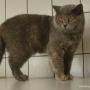 koty-brytyjskie-carrera-amazing-aisha4