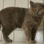 koty-brytyjskie-carrera-amazing-aisha5