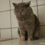 koty-brytyjskie- Carrera of Amazing Aisha*PL