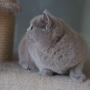 kot brytyjski liliowy - Donna Summer Amazing Aisha*PL - mam 5, 5 m-ca