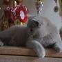 kot brytyjski liliowy - Donna Summer Amazing Aisha*PL - mam 6 m-cy