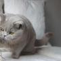 kot brytyjski liliowy - Donna Summer Amazing Aisha*PL
