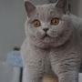 kot brytyjski liliowy - Donna Summer Amazing Aisha*PL - mam 6,5 m-ca