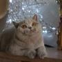 kot brytyjski liliowy - Donna Summer Amazing Aisha*PL - mam 7 m-cy