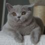 kot brytyjski liliowy - Donna Summer Amazing Aisha*PL -