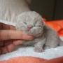 koty brytyjskie - dziewczynka liliowa