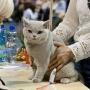 Foto: Gosia Wójcik- 12-13 11 2016 Wystawa Poznań Summer of Amazing Aisha*PL 2xEx1,2xBIV, 2xNom Bis, 2xBis kitten 4-7, BIC Cat. III oraz Best of Best III YOUNG