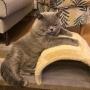 koty brytyjskie - Eddie Amazing Aisha*PL-