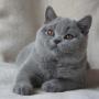 kot brytyjski - niebieski - EDDIE mam 4 m-ce