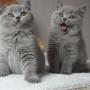 kot brytyjski niebieski - Elegance i Eddie