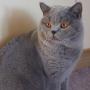 koty brytyjskie - Eddie Amazing Aisha*PL- mam 1 rok i 3 m-ce