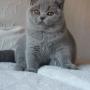 kot brytyjski - niebieski - EDDIE mam 3,5 m-ca