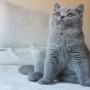 kot brytyjski - niebieski - EDDIE