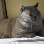 koty brytyjskie - Eddie Amazing Aisha*PL