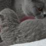 kot brytyjski niebieski - mam 4 dni