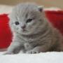 kot brytyjski niebieski - mam 14 dni