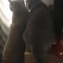 1koty-brytyjskie- kotka niebieska - Fifi i Donna Summer w nowym domu