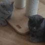 koty-brytyjskie- kotka niebieska - Fifi i Donna Summer w nowym domu