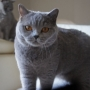koty-brytyjskie- kotka niebieska - LV*RAYS of HOPE FIFI - 2020