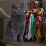 koty-brytyjskie- kotka niebieska - LV*RAYS of HOPE FIFI - luty 2020