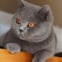 -koty-brytyjskie- kotka niebieska - LV*RAYS of HOPE FIFI - grudzien 2014