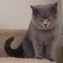 -koty-brytyjskie- kotka niebieska - LV*RAYS of HOPE FIFI - styczeń 2015