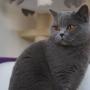 koty-brytyjskie- kotka niebieska - LV*RAYS of HOPE FIFI - pazdziernik 2015