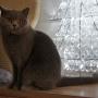 koty-brytyjskie- kotka niebieska - LV*RAYS of HOPE FIFI - 12 2015