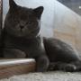 koty-brytyjskie- kotka niebieska - LV*RAYS of HOPE FIFI - styczeń 2016