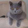 -koty-brytyjskie- kotka niebieska - LV*RAYS of HOPE FIFI - mam 5, 5 miesiąca