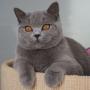 -koty-brytyjskie- kotka niebieska - LV*RAYS of HOPE FIFI - mam 7 miesięcy