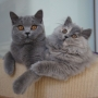 -koty-brytyjskie- kotka niebieska - niebieska FIFI i długowłosa VIVIENNE