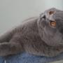 koty-brytyjskie- kotka niebieska - LV*RAYS of HOPE FIFI - mam 7 miesięcy