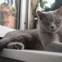 koty-brytyjskie- kotka niebieska - LV*RAYS of HOPE FIFI - wrzesień 2015