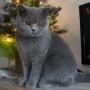 -koty-brytyjskie- kotka niebieska - LV*RAYS of HOPE FIFI