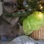 koty-brytyjskie- kotka niebieska - LV*RAYS of HOPE FIFI