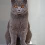 -koty-brytyjskie- kotka niebieska - LV*RAYS of HOPE FIFI - 10 miesięcy