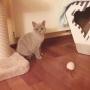 Koty brytyjskie - Kanye West AmazingAisha*PL - w nowym domku, pierwsze chwile