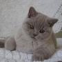 hodowla kotów - kot brytyjski liliowy Kanye West - mam 4 miesiące