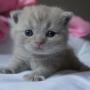 kot brytyjski liliowy