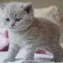 hodowla kotów - kot brytyjski liliowy Kanye West