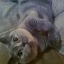 11-2013 koty-brytyjskie-Kassidy w nowym domku