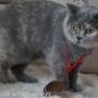 kassidy-z-medalem-wroclaw-09-2012-koty-brytyjskie-kassidy-hodowla-kotow-amazing-aisha
