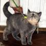 orygkassi-na-smyczy-800-koty-brytyjskie-kassidy-hodowla_kotow-amazing-aisha
