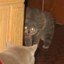 wizyta-aslanka-koty-brytyjskie-kassidy-hodowla_kotow-amazing-aisha