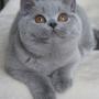 koty-brytyjskie--kotka niebieska bria -Mercedes of Amazing Aisha*Pl