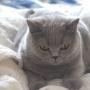 koty-brytyjskie--kotka niebieska bria -Mercedes of Amazing Aisha*Pl  -  w nowym domu 2015