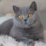 koty-brytyjskie--kotka niebieska bria -Mercedes of Amazing Aisha*Pl  - Grudzień 2014